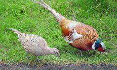 Unos fazanske divljači u lovišta